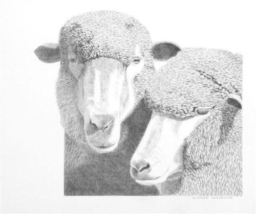 richard_maurovic_ewes